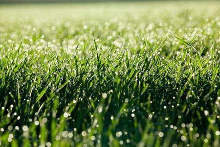 Fotografou perto plantas de grama jovens trigo verde crescendo em campo agrícola, agricultura, orvalho da manhã nas folhas, Foto de archivo - 86187215