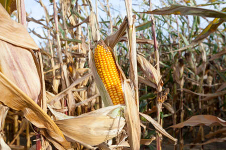 agricultural field, which grows ripe yellow corn. Photo close-up in autumn season Stock Photo