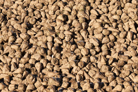 beet crop, immersed in huge piles, in an agricultural field. A close-up photo.