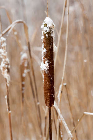 dry brown cattail in winter. photo close-up, puff and seeds sticking out of the ear.