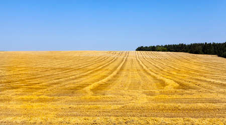 agricultural field, which is harvesting wheat, which has already become ripe. Summer time and sunny weather. On the ground there is a straw of cut cereals. Blue sky in the background