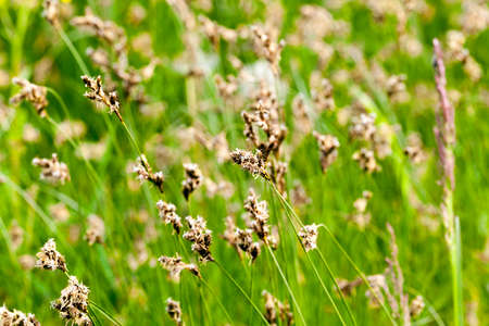 heap: Green grass with dark flowers on which the first seeds appear. Photo close-up in spring Stock Photo
