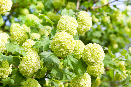 flowering shrub Viburnum was swallowed , viburnum is sterile. Photo close-up of green balls of a plant in the spring season Stock Photo
