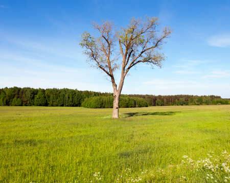 Tree in a field with corn. Blue sky and green forest trees. Spring landscape 版權商用圖片 - 86495011