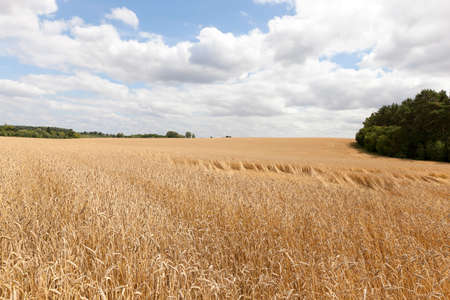 battered land: Agricultural field on which it grows ripe, yellow ears of cereal