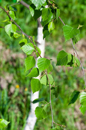 birch with green leaves, photographed close-up in the spring season. White tree trunk and young foliage. Stock Photo
