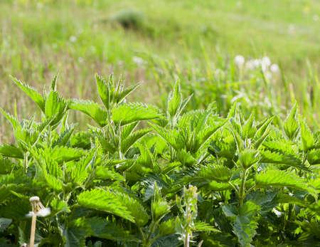 Feuilles d'ortie verte poussant sur une clairière. Gros plan de photo de printemps. Focus sur les orties. Petite profondeur de champ Banque d'images - 86196565