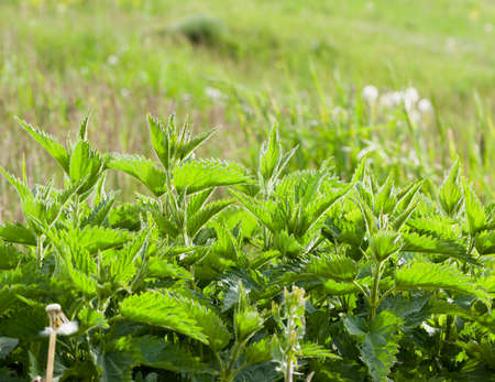 Leaves of green nettle growing on a glade. Spring photo close-up. Focus on nettles. Small depth of field