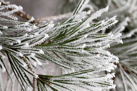 pine forest in the winter season. Photo close-up of trees in the rime and snow