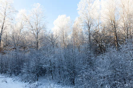 birches and other trees growing in a mixed forest. landscape in the winter season after a snowfall. morning time, on the tops of trees a white frost, shining through the bright sun Stock Photo