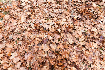 heap: dry maple leaves lying on the ground brown. Photographed close-up.