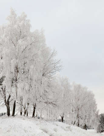 white tops of deciduous trees, photographed in the winter season during frost. Cloudy weather and gray sky. On the branches of trees frost and snow