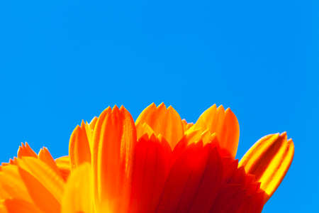 an orange flower of calendula photographed against a background of blue sky, is used in medicine. Agricultural field Stock Photo