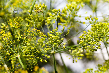 close-up photo of green immature dill umbrellas growing on the territory of the field