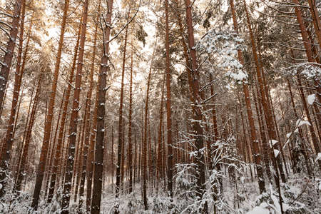 winter landscape in a pine forest during sunset. The trunks and branches of the trees are covered with snow, on the ground lie deep snowdrifts. The trunks are lit by the yellowish light of the sun
