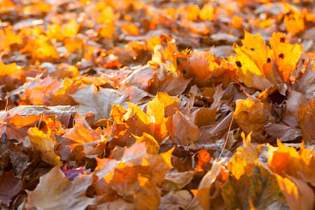 tearing down: lying on the ground maple foliage The fallen during the autumn season. Photo taken closeup. Small depth of field. Sunny weather and foliage visible sun rays