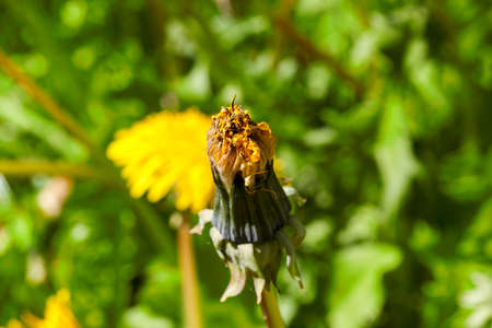 closed not blossoming flower of a yellow dandelion in a spring meadow. close-up photo Stock Photo