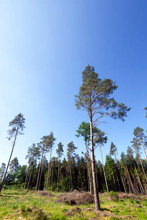 mixed forest during the harvesting of pine and deciduous trees. summer landscape. on the ground lie heaps of severed branches and trunks