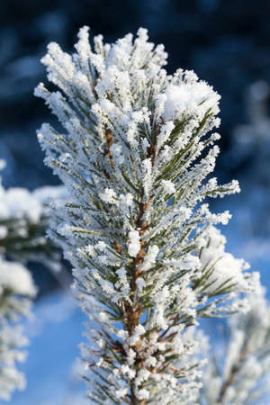 branches with green needles covered with white frost. winter
