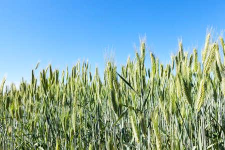 farm field on which grows green vegetation and grass. Photo closeup. Summer season