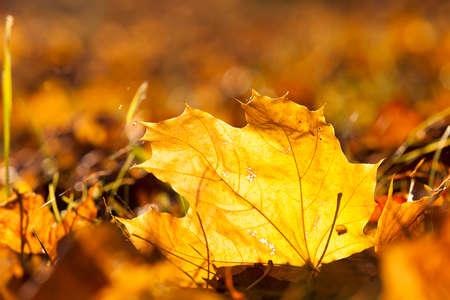 yellow, orange foliage of maple during leaf fall. Photo taken close-up in the autumn season