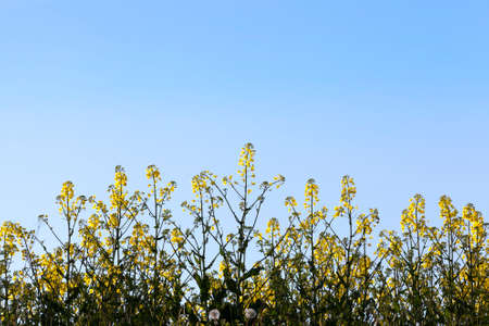 photographed from below flowering canola bushes in the spring. photo close-up with blue sky