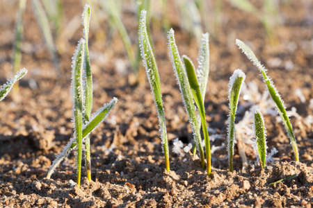 growing in an agricultural field young green shoots of winter wheat in the morning frost. Small depth of field. Time of year - late autumn during the first frost