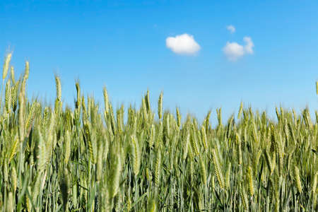 Agricultural field on which grow immature young cereals, wheat. Blue sky with clouds in the background Stock Photo