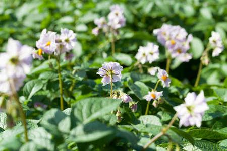 flower of a potato, close-up Stock Photo