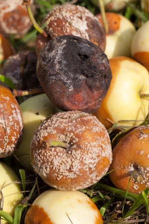 Spoiled apple harvest