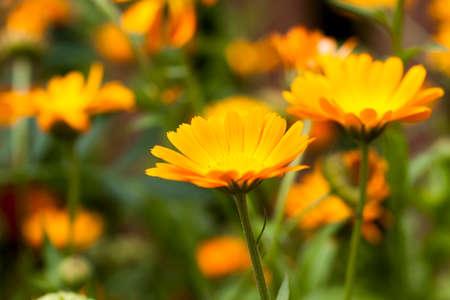 Flowers of marigold, field