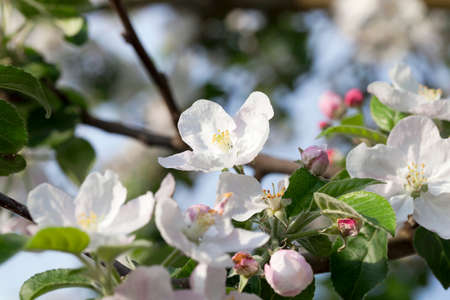 crab apple tree: White apple flowers in May Stock Photo