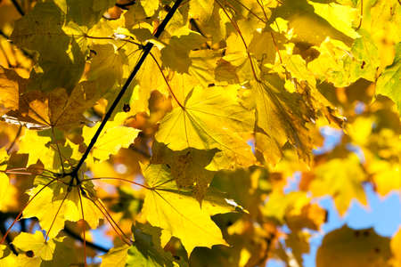 yellowed maple trees in autumn Stock Photo
