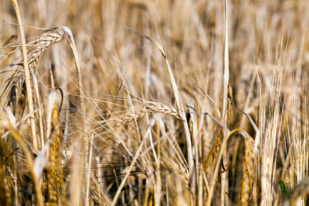 wheat farming field