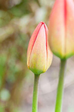 Red tulip, close-up