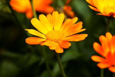 pot marigold: Marigold flowers