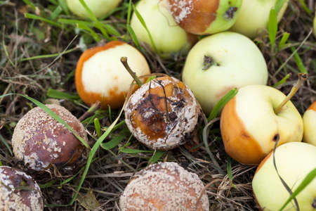 a close-up photograph of a green immature but already rotting apples. Small depth of field