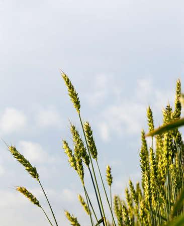 Grano verde immaturo contro un cielo blu con nuvole. foto close-up in primavera o in estate Archivio Fotografico - 87834680