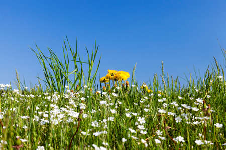 the field in which grow a variety of wild flowers, dandelions, daisies and grass in the spring time of the year. blue sky in the background. The photo was taken close-up, small depth of field.