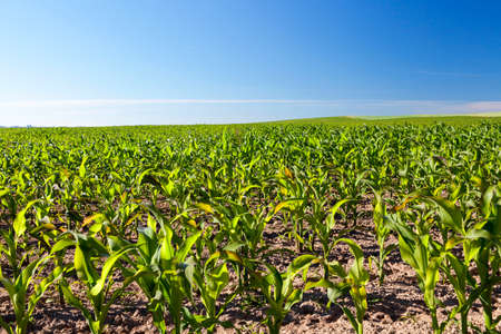 corn is fully sown on the agricultural field. photo landscapes in spring with immature growing stem of a plant Stock Photo