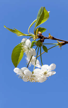 four white blossoms of a cherry blossom in bloom of an orchard. photo close up a blue sky. focus on the bottom flowers