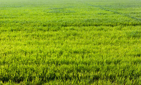 Green grass on the field