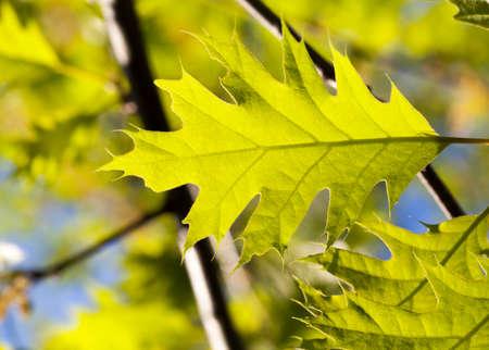 Oak leaf closeup Stock Photo