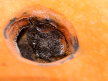 fungal disease: Blackened part of the orange pumpkin, which began to rot, Photo close up Stock Photo