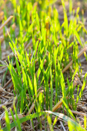 a new crop of wheat green during the onset of growth, close-up. the plant is well and brightly lit by sunlight in the field
