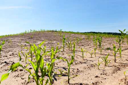 seldom growing corn stalks on the territory of an agricultural field, spring landscape