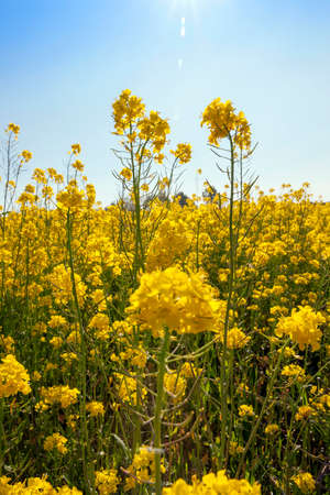 flowering rapeseed for oil and fuel production, close-up photo in sunny weather Stock Photo