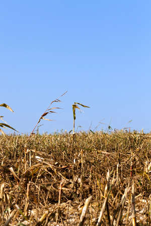 several uncircumcised high corn stalks on a field with stubble after harvesting cereals, summer landscape