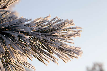 beautiful frost on long pine needles in winter month, close-up against a blue sky