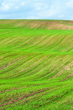 a hilly agricultural field on the basis of which a new crop of green grass grows , winter wheat planted in autumn, a landscape against a blue sky Фото со стока